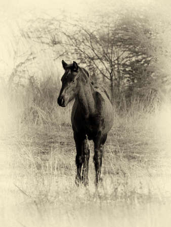 tentative: Sepia Toned Black and White Picture of Young Foal in Field Stock Photo