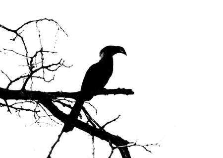 hornbill: Black and White Southern yellow-billed hornbill on Branch Silhouette