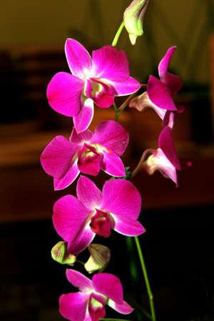 max: Colorful Orchid Species Purple Dendrobium Blue Max Picture Stock Photo