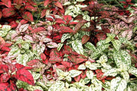 ground cover: Flora Pink Green Red Ground Cover Leaves Display Picture