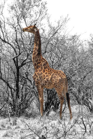 Partial Black and White Image of Grown Giraffe eating top leaves from large tree  photo