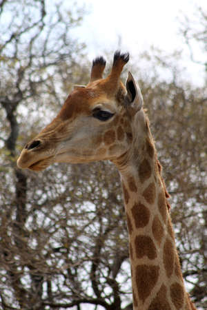 Side Profile Picture of the Head of a Large Grown Giraffe photo