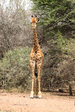 Front View of Strong Bodied Giraffe with bulging muscles standing next to trees photo