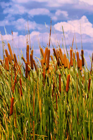 cattails: HDR Image of Cattails  Typha orientalis  with is Brown Sausage Like Flowers