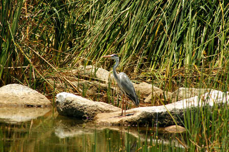 herodias: Great Blue Heron  Ardea Herodias  sitting on a Rock
