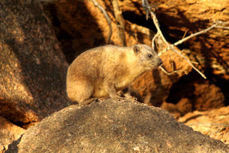 basking: Side Profile of Small Dassie Basking in the South African Morning Sun Stock Photo