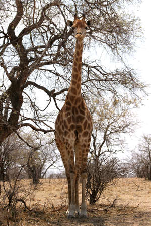 Front View of Very Large Strong Bodied Giraffe with bulging muscles standing next to trees photo