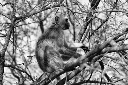 Black and White Picture of a Vervet Monkey in a Tree Stock Photo - 24594595