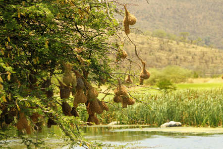 safely: Weaver-bird Nests Hanging Safely Over a River Stock Photo