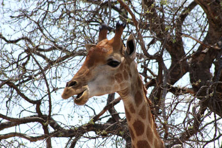 Side Profile Picture of the Head of a Large Grown Giraffe busy Eating photo