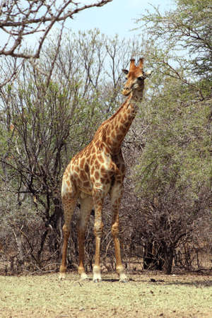 Strong Bodied Giraffe with bulging muscles standing next to trees photo