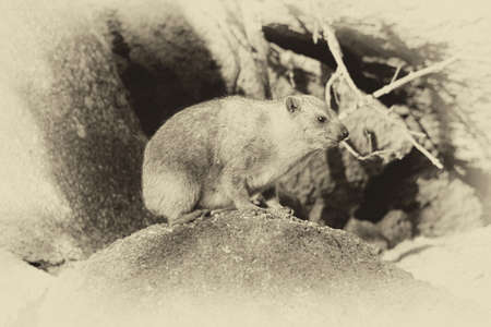 bask: Old Sepia Image of Side Profile of a Small Dassie Stock Photo
