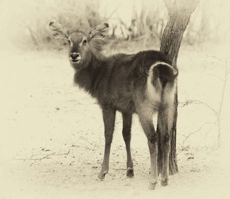 backwards: Old Sepia Image of an Alert Waterbuck Looking Backwards Listening Carefully to Every Sound