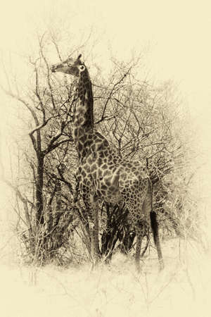 Vintage Sepia Image of Grown Giraffe eating top leaves from large tree. photo