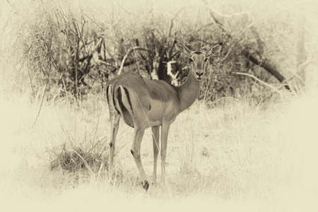 Old Sepia Image of an Alert Impala Ewe walking through Bushveld Grass Stopped to Listen
