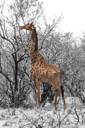 Partial Black and White of Grown Giraffe eating top leaves from large tree. Vector