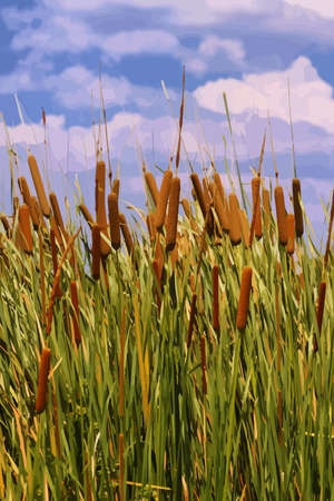 cattails: Cattails (Typha orientalis) with is Brown Flowers Illustration