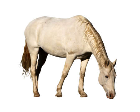 Detailed Portrait Isolated Picture of Large Horse Grazing Stock Photo
