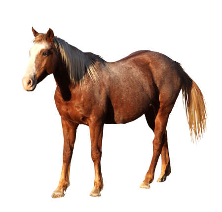 Detailed Portrait Isolated Picture of Large Horse Standing     photo