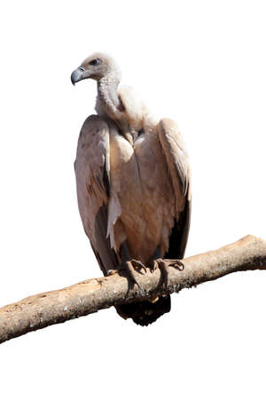 lurking: Detailed Portrait Isolated Picture of Large Vulture on Branch Stock Photo