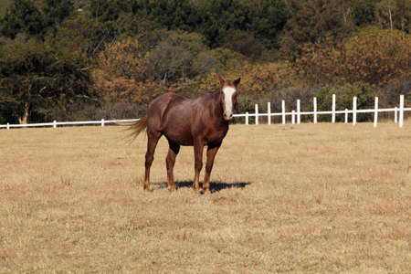 Portrait Picture of Large Strong Brown Colt Horse photo