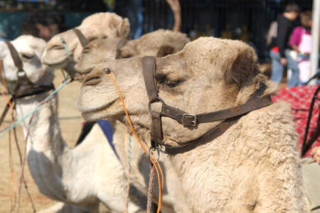 joyride: THABAZIMBI, SOUTH AFRICA - JUNE 28: Close up of camel used for joyrides at Wildsfees (Game Festival) on June 28, 2014 in Thabazimbi South Africa.