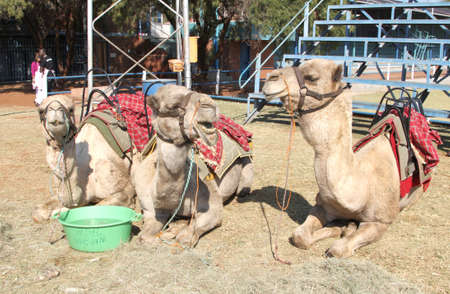saddle camel: THABAZIMBI, SOUTH AFRICA - JUNE 28: Camels resting, used for joyrides at Wildsfees (Game Festival) on June 28, 2014 in Thabazimbi South Africa.