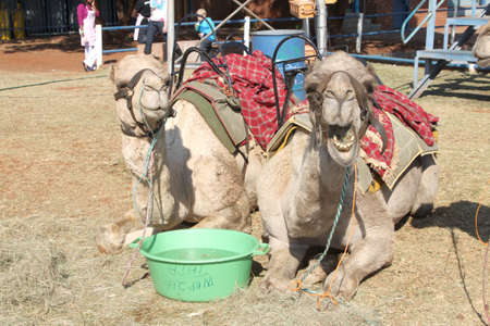 joyride: THABAZIMBI, SOUTH AFRICA - JUNE 28: Camels resting, used for joyrides at Wildsfees (Game Festival) on June 28, 2014 in Thabazimbi South Africa.