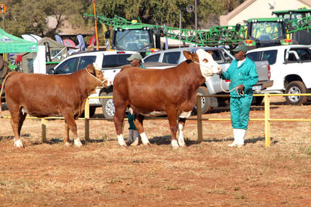 handler: THABAZIMBI, SOUTH AFRICA - August 1:  Cattle Breeders Championship at Thabazimbi Show, on August 1, 2014 at Thabazimbi, South Africa. Brown with white on head Simmentaler cows lead by handler photo.