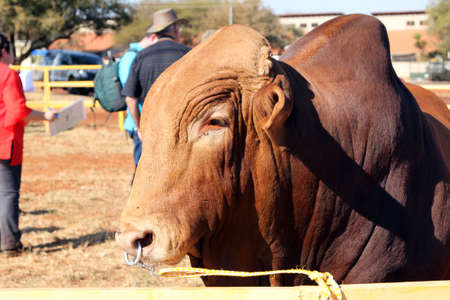 bull rings: THABAZIMBI, SOUTH AFRICA - August 1:  Thabazimbi Show,  on August 1, 2014 at Thabazimbi, South Africa. Brown Brahman bull head photo with nose ring.