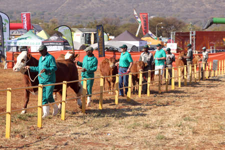 handler: THABAZIMBI, SOUTH AFRICA - August 1:  Cattle Breeders Championship at Thabazimbi Show, on August 1, 2014 at Thabazimbi, South Africa. Brown with white on head Simmentaler bull lead by handler photo.
