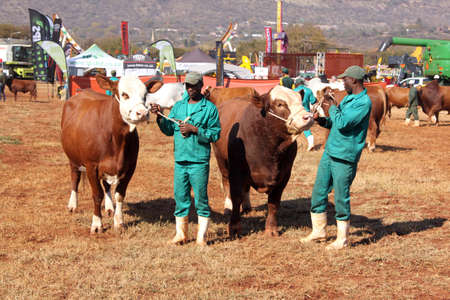 breeders: THABAZIMBI, SOUTH AFRICA - August 1:  Cattle Breeders Championship at Thabazimbi Show, on August 1, 2014 at Thabazimbi, South Africa. Brown with white on head Simmentaler cows with handlesr photo.