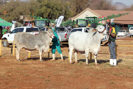brahman: THABAZIMBI, SOUTH AFRICA - August 1:  Cattle Breeders Championship at Thabazimbi Show,  on August 1, 2014 at Thabazimbi, South Africa. White Brahman bull lead by handler photo. Editorial