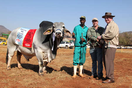 breeders: THABAZIMBI, SOUTH AFRICA - August 1:  Cattle Breeders Championship at Thabazimbi Show,  on August 1, 2014 at Thabazimbi, South Africa.  White Brahman bull best male animal and overall champion.