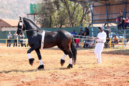 horse show: THABAZIMBI, SOUTH AFRICA - August 1:  Friesian horse show at Thabazimbi Agricultural Show, on August 1, 2014 at Thabazimbi, South Africa. Handler letting lovely black Friesian horse gallop.