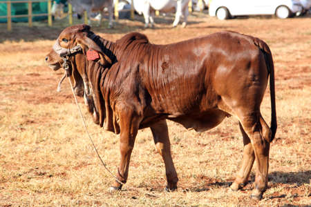 brahman: THABAZIMBI, SOUTH AFRICA - August 1:  Cattle Breeders Championship at Thabazimbi Show,  on August 1, 2014 at Thabazimbi, South Africa.  Brown Brahman Calf standing in the sun.