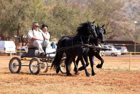 horse show: THABAZIMBI, SOUTH AFRICA - August 1:  Friesian horse show at Thabazimbi Agricultural Show, on August 1, 2014 at Thabazimbi, South Africa. Lovely galloping black Friesian horses pulling cart.