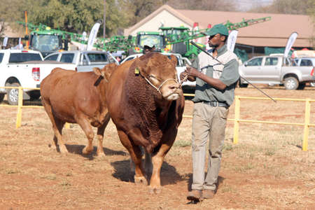 breeders: THABAZIMBI, SOUTH AFRICA - August 1:  Cattle Breeders Championship at Thabazimbi Show, on August 1, 2014 at Thabazimbi, South Africa. Dexter bulls being lead in arena by handlers.