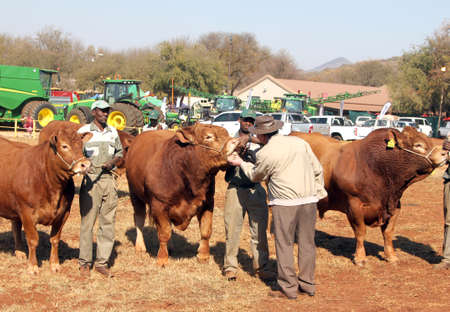 inspected: THABAZIMBI, SOUTH AFRICA - August 1:  Cattle Breeders Championship at Thabazimbi Show, on August 1, 2014 at Thabazimbi, South Africa. Dexter bulls being inspected by show judge, Dr. Peter Milton.
