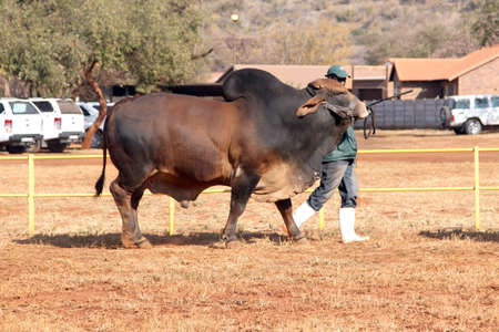 breeders: THABAZIMBI, SOUTH AFRICA - August 1:  Cattle Breeders Championship at Thabazimbi Show,  on August 1, 2014 at Thabazimbi, South Africa. Brown Brahman bull lead by handler photo. Editorial