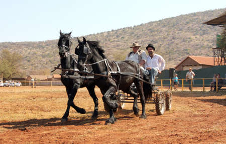 horse pull: THABAZIMBI, SOUTH AFRICA - August 1:  Friesian horse show at Thabazimbi Agricultural Show, on August 1, 2014 at Thabazimbi, South Africa. Lovely galloping black Friesian horses pulling cart.