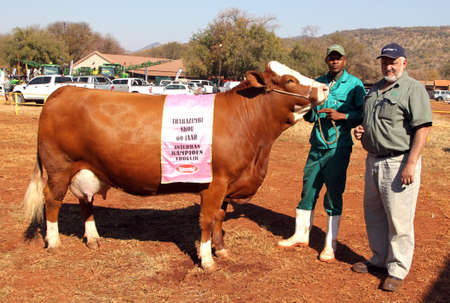 breeders: THABAZIMBI, SOUTH AFRICA - August 1:  Cattle Breeders Championship at Thabazimbi Show, on August 1, 2014 at Thabazimbi, South Africa. Brown with white on head Simmentaler champon cow.
