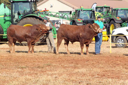 dexter: THABAZIMBI, SOUTH AFRICA - August 1:  Cattle Breeders Championship at Thabazimbi Show, on August 1, 2014 at Thabazimbi, South Africa. Dexter bulls being lead in arena by handlers.