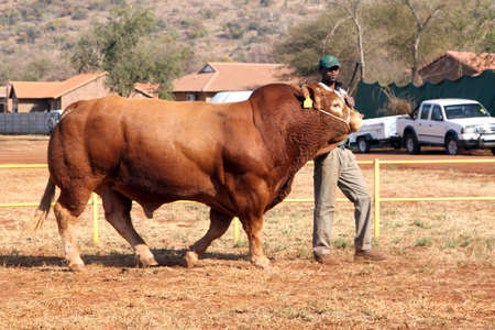 dexter: THABAZIMBI, SOUTH AFRICA - August 1:  Cattle Breeders Championship at Thabazimbi Show, on August 1, 2014 at Thabazimbi, South Africa. Dexter bull being lead in arena by handler.