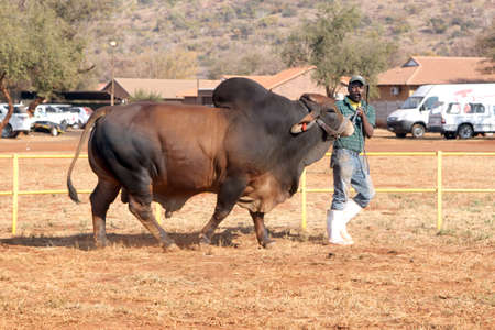 brahman: THABAZIMBI, SOUTH AFRICA - August 1:  Cattle Breeders Championship at Thabazimbi Show,  on August 1, 2014 at Thabazimbi, South Africa. Brown Brahman bull lead by handler photo. Editorial