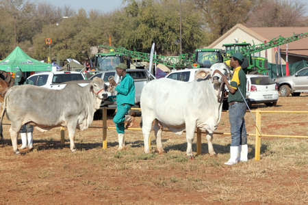 handler: THABAZIMBI, SOUTH AFRICA - August 1:  Cattle Breeders Championship at Thabazimbi Show,  on August 1, 2014 at Thabazimbi, South Africa. White Brahman bull lead by handler photo. Editorial