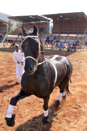 handler: THABAZIMBI, SOUTH AFRICA - August 1:  Friesian horse show at Thabazimbi Agricultural Show, on August 1, 2014 at Thabazimbi, South Africa. Handler letting lovely black Friesian horse gallop.