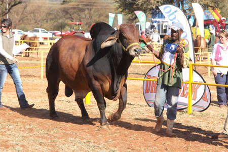 handler: THABAZIMBI, SOUTH AFRICA - August 1:  Cattle Breeders Championship at Thabazimbi Show,  on August 1, 2014 at Thabazimbi, South Africa. Brown Brahman bull lead by handler photo. Editorial