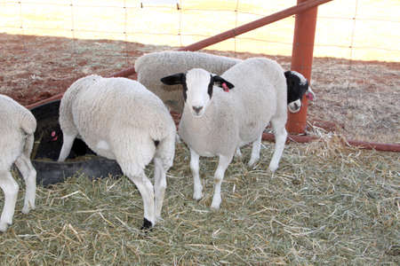 breeders: Healthy white and black Dorper sheep in kennel.