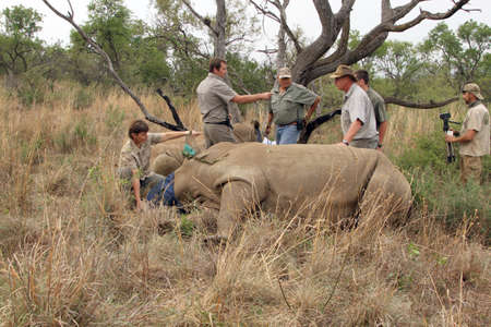 defaced: MAGALIESBERG, SOUTH AFRICA - October 14: Dehorning of rhinos in Askari Game Lodge, to protect them against poachers on October 14, 2015 at Magaliesberg, South Africa.  Mother and calf after been darted. Editorial